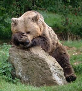 Facepalm-bear