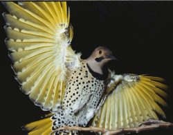 012_yellow_shafted_flicker