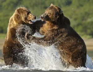 Splashing-Bears