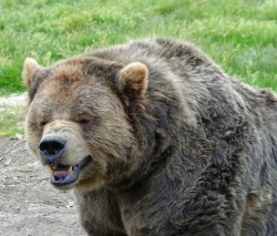 BearLaughing1